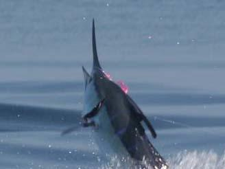Big Blue Marlin, on fly, Intensity, January 17, 2011, Jake Jordan Angler