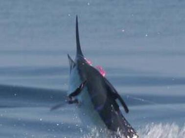 John Killian's 250 Blue Marlin on fly March 15 2014 Makaira with captain Jason Brice