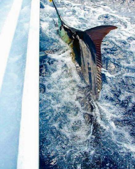 Diane's Blue Marlin on Fly