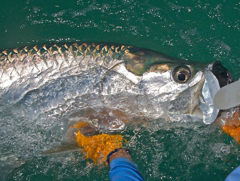 Releasing the Silver King, Florida Keys