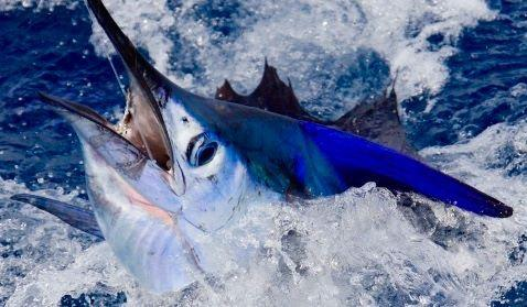Hot Casa Vieja Lodge Sailfish on fly