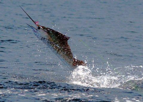 Jumping Sailfish on fly