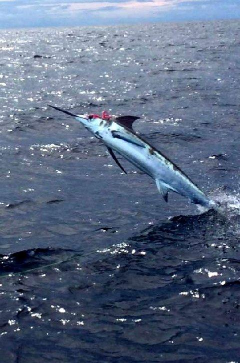 "Roy Chronacher, jumping Blue Marlin, on Fly, caught 2 in one day, on 20 pound class tippet, Vessel ""Dragin Fly"" The Blue MArlin fly fishing School, Los Suenos CR"