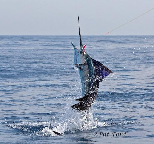 Sailfish on Fly, January 2011, Casa Vieja Lodge, The Sailfish School, Guatemala