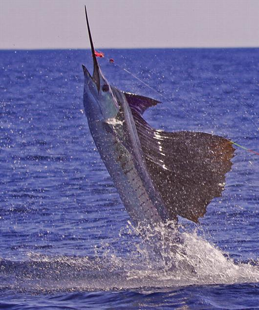 Sailfish on Fly, Jake Jordan's Sailfish School, Casa Vieja Lodge, Guatemala, January 6, 2012, Intensity, Captain Mike Sheeder, Brian Buckler Angler