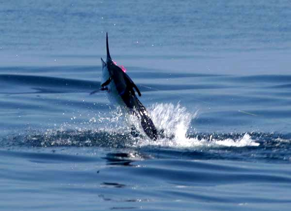 Hugh Chatham Fly Caugh Striped Marlin Jumping