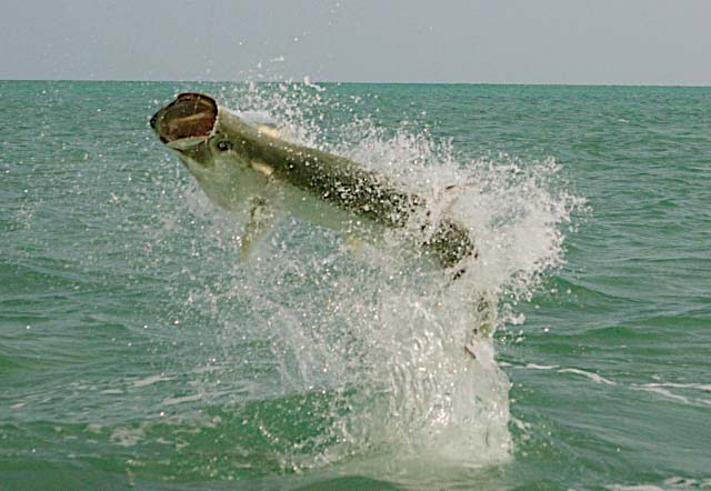 Tarpon on Fly (Captain Jake Jordan) Marathon, Florida Keys