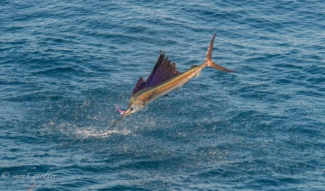 Jumping Guatemalan Sailfish on Fly, Sarah Gardner Photo