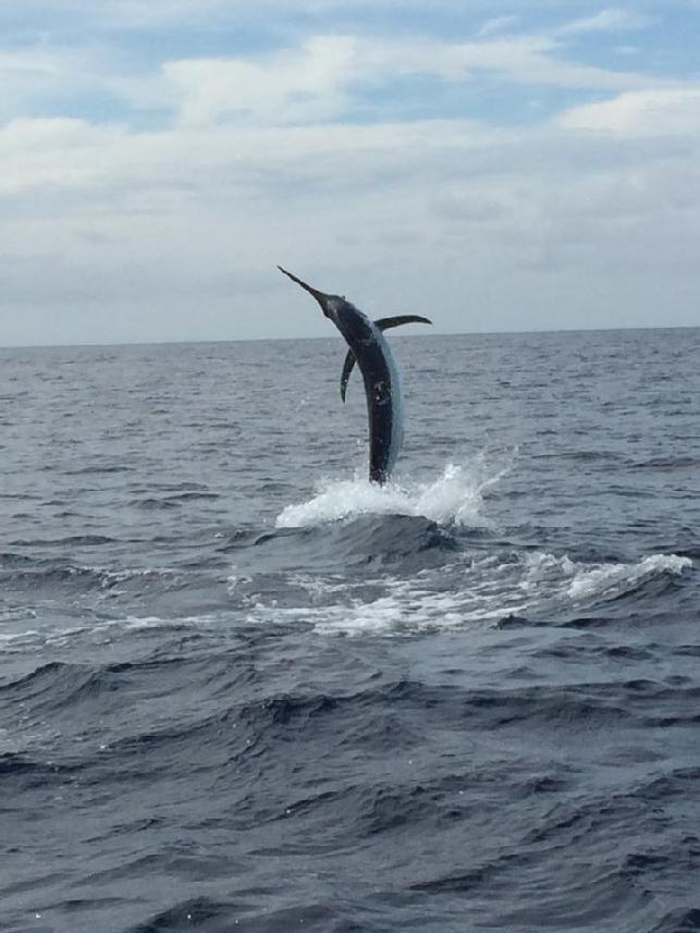 "Lee Smith jumping one of four total Blue Marlin caught on fly, aboard the vessel ""Dragin Fly"" with Captain James Smith, out of Los Suenos, Costa Rica, June 2015"