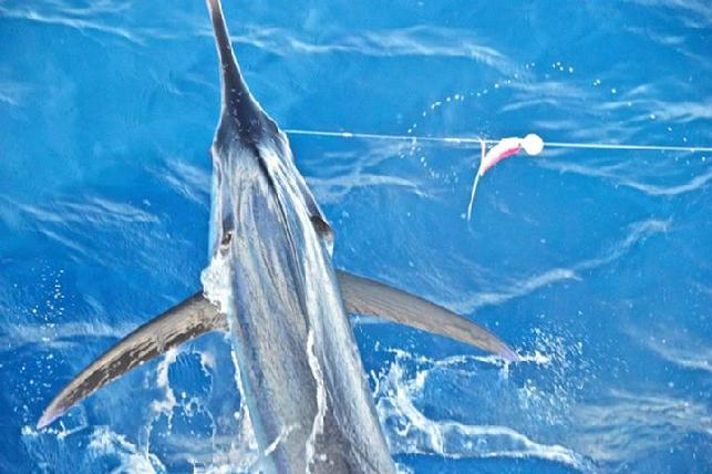 "One of two Blue Marlin, caught and released at ""The Blue Marlin Fly Fishing School"" Costa Rica, by Bill Brinton, June 25, 2015"