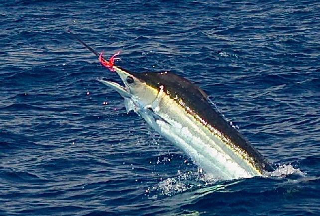 Lee's Blue Marlin on Fly July 2016
