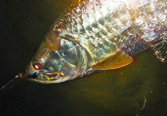 Awesome Extreme Night time Tarpon on Fly, Jake Jordan, Tarpon World, Florida Keys, April and May 2015