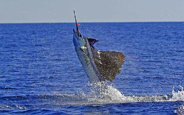 Sailfish on Fly, Sailfish School, January 2012