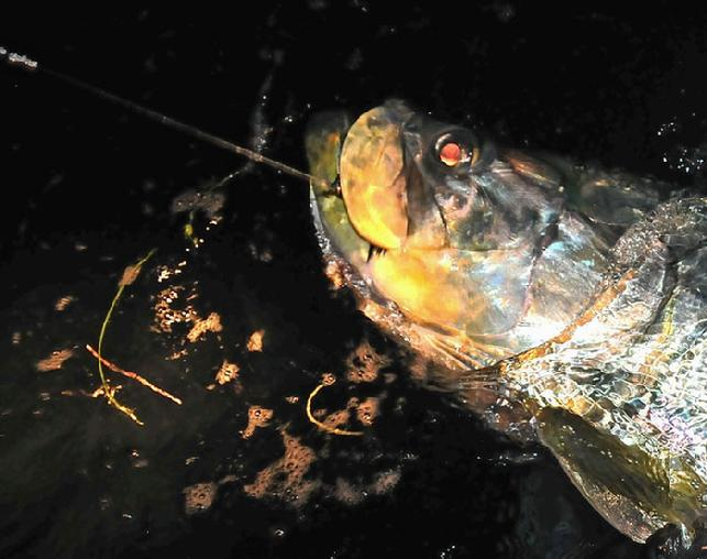 Brian Horsley, big night fly caught, Tarpon ready for Release April 27, 2011