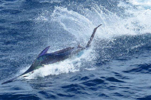 Blue Marlin on Fly, George Maybee, The Blue Marlin Fly Fishing School, Los Suenos Costa Rica, August 2016, Jake Jordan Photo
