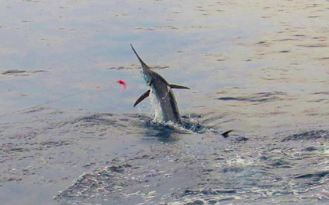 Don Butlers third Bue Marlin of this trip, Dragin Fly, July 2016