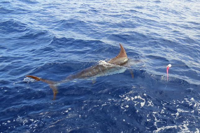Jake Jordan's number fifty Blue Marlin on fly lifetime, July 16, 2016
