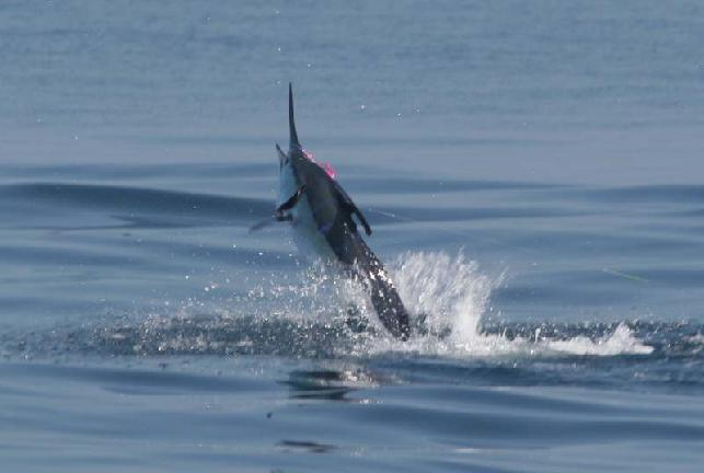 Marlin on fly
