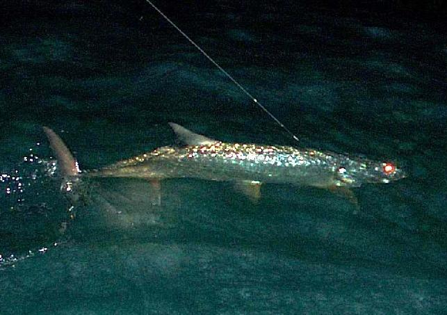 Night Tarpon on fly (Captain Jake Jordan)