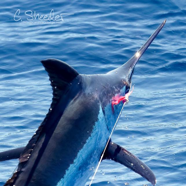 Don Butlers first Blue Marlin on fly, put the team Rumline way ahead of the competition