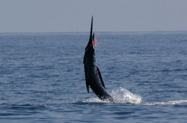 George Maybee Striped Marlin on Fly Galapagos