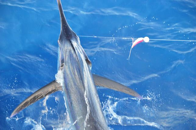 Blue Marlin on Fly, The Blue Marlin Fly Fishing School. CAptain Jake Jordan, Instructor/Owner