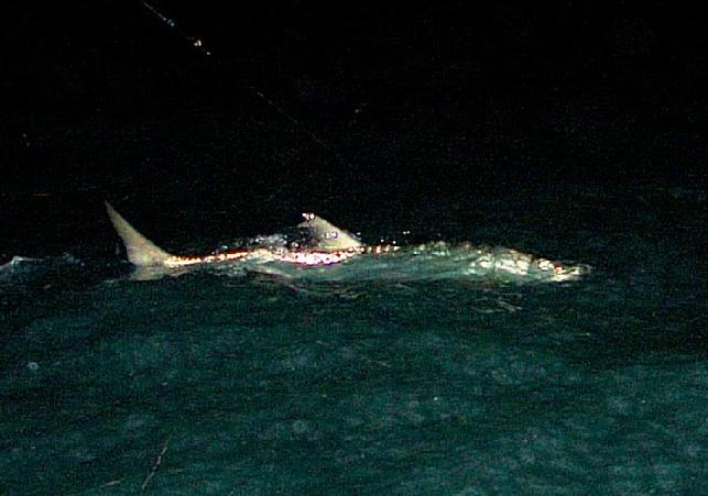 Tarpon on Fly, Sam Genis, April 15, 2011, Captain Jake Jordan, Florida Keys.