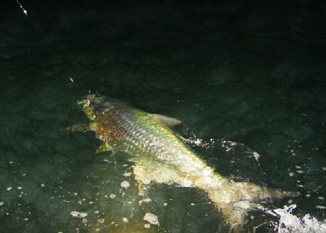 "Tarpon on Fly April 3, 2012, Florida Keys, Aboard ""Fly Reel"" with Captain Jake Jordan"